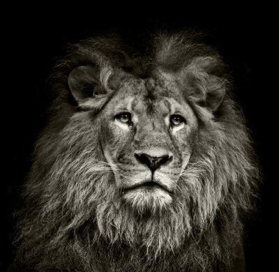 Affisch ledsen lejon