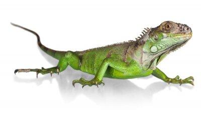Affisch Leguan, ödla, reptil.