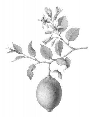 Affisch Lemon Tree Fruit and Flowers Hand-drawn Pencil Illustration Isolated on White