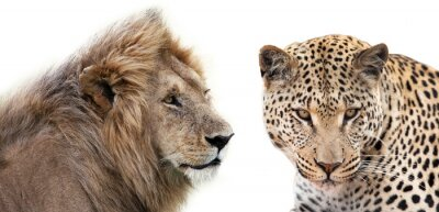 Affisch Leone e Leopardo insieme