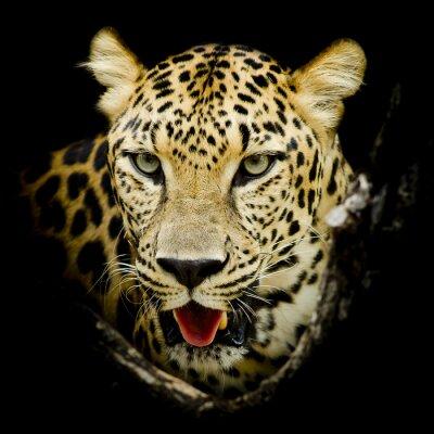 Affisch leopard porträtt