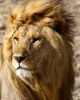 Affisch Lion i Afrika