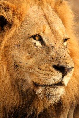 Affisch Lion i Sabi Sands