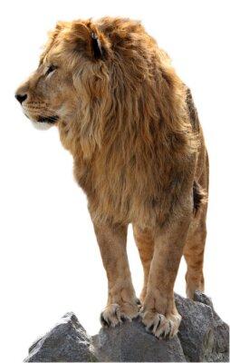 Affisch Lion på en sten