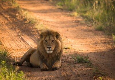 Affisch Lion på morgonen afrikanska vägen