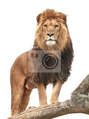 Affisch Lion (Panthera leo)