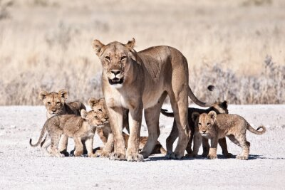 Affisch Lioness och unge