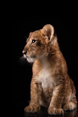 Affisch lite lejon unge på svart bakgrund