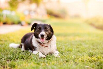 Affisch Lycklig hund liggande i grönt gräs med sträcker tassar