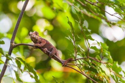 Affisch Madagaskar Lizard