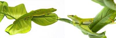 Affisch Madagaskardaggecko - gecko isolerat på vit