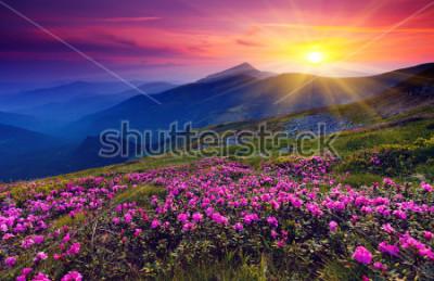 Affisch Magiska rosa rhododendronblommor på sommarberget