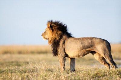 Affisch Male Lion