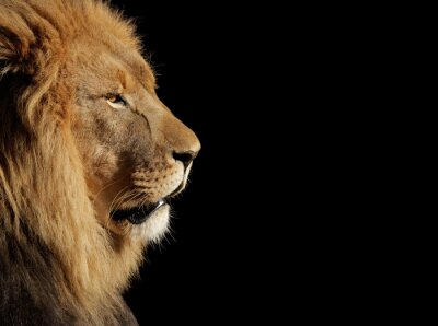 Affisch Man afrikanska lejon på svart