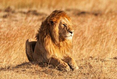 Affisch Man lejon i Masai Mara