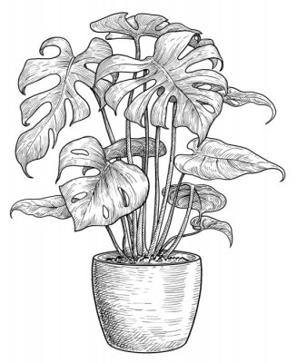 Affisch Monstera illustration, drawing, engraving, ink, line art, vector