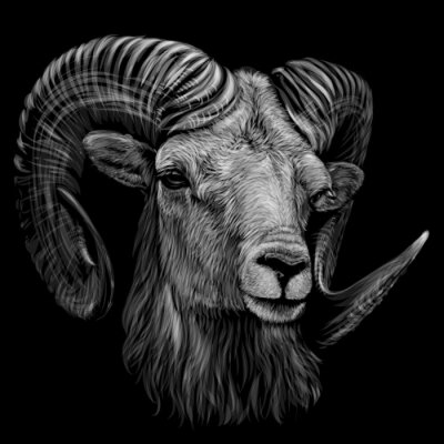 Affisch Mountain sheep. Artistic, monochrome, black and white, hand-drawn portrait of a mountain sheep on a black background.