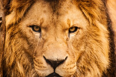 Affisch Närbild porträtt av en afrikansk Lion