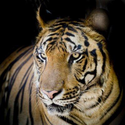 Affisch Närbild tiger