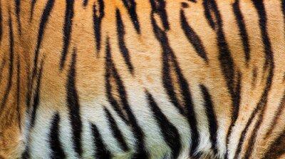 Affisch närbild tiger hudens struktur