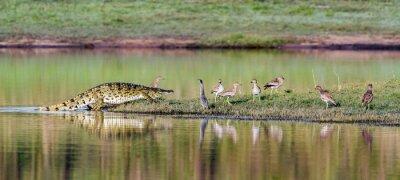 Affisch Nilkrokodil i Kruger National Park, Sydafrika