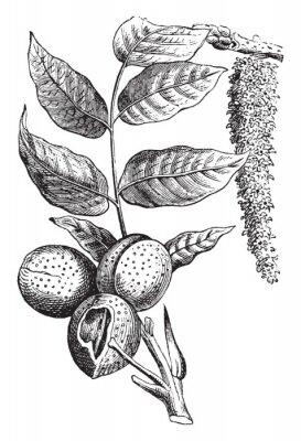 Affisch Nut vintage illustration.