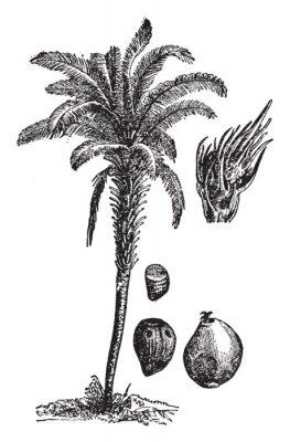 Affisch Oil palm vintage illustration.