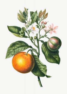 Affisch Orange tree branch