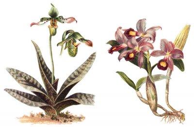 Affisch Orchid - vänster Paphiopedilum venustum och höger Cattleya Skinneri / vintage illustration