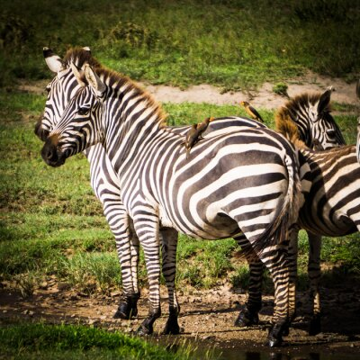 Affisch oxpeckers fåglar får mat att äta löss på de afrikanska zebror och de får skadedjursbekämpning