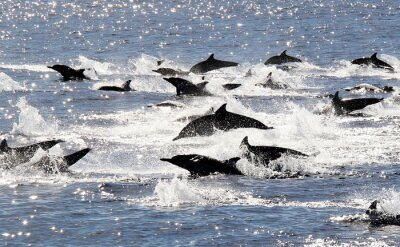 Affisch Pacific Common Dolphin Stampede