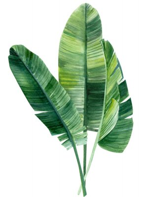 Affisch palm tree, leaves of tropical forests on an isolated white background, watercolor illustration