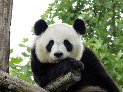 Affisch Panda Géant 3