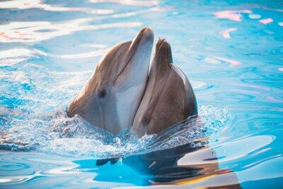 Affisch par av delfiner dansar i vatten