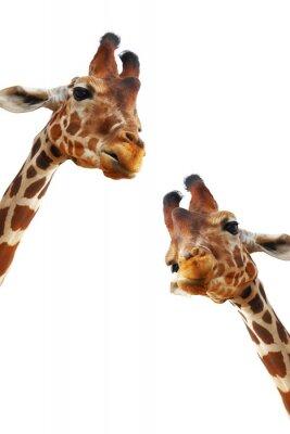 Affisch Par giraffer närbild porträtt isolerad på vit bakgrund