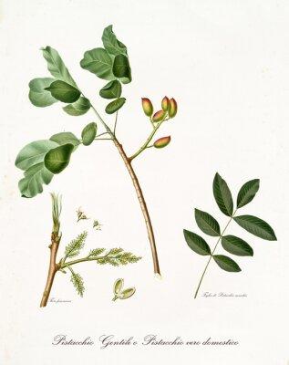 Affisch pistachio gren med löv och andra botaniska element. All sammansättning isoleras över vit bakgrund. Gammal detaljerad botanisk illustration av Giorgio Gallesio publicerad 1817, 1839