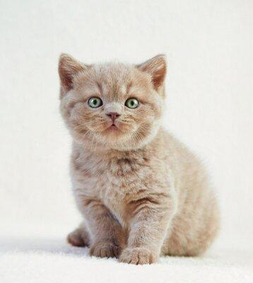 Affisch porträtt av brittiskt korthår kattunge