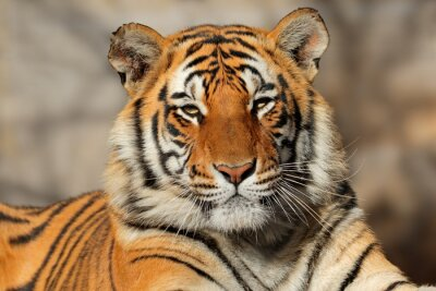 Affisch Porträtt av en Bengal tiger (Pantheratigris bengalensis).