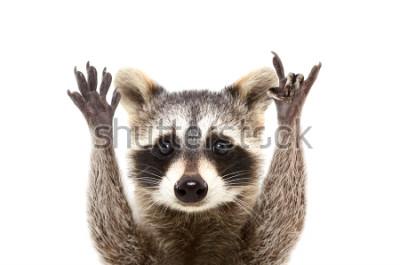Affisch Porträtt av en rolig tvättbjörn som visar en sten gest, isolerad på vit bakgrund