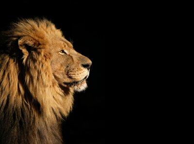 Affisch Porträtt av en stor manlig afrikanska lejon på svart