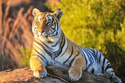 Affisch Porträtt av en tiger