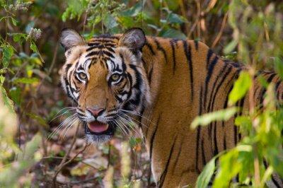 Affisch Porträtt av en tiger i naturen. Indien. Bandhavgarh National Park. Madhya Pradesh. En utmärkt illustration.