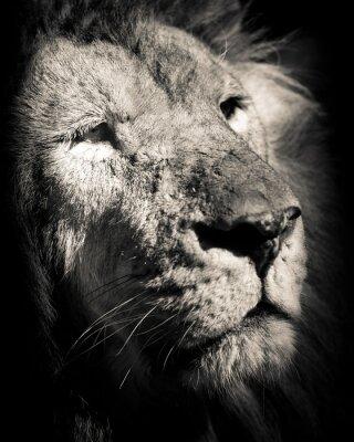 Affisch porträtt av lejon - svartvitt foto