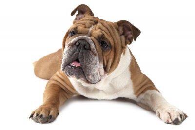 Affisch Porträtt av renrasiga engelsk bulldogg på vit bakgrund