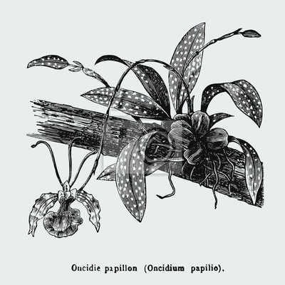 Affisch Psychopsis papilio, or butterfly orchid, also known as Oncidium papilio, is a flower in the family Orchidaceae. Vintage encyclopedia illustration, engraving, scientific botany , plant clip art.