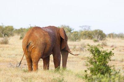 Affisch Red afrikanska elefanten i Kenya