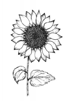 Affisch Retro black outline ink pen sketch of sunflower. Hand drawn illustration of beautiful sun flower isolated on white background for botanical pattern design, greeting card decoration