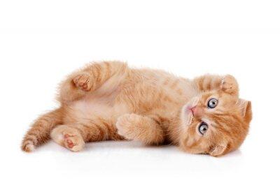 Affisch Röd kattunge på en vit bakgrund