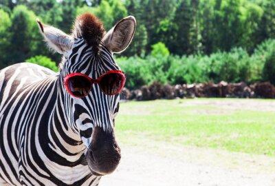 Affisch Rolig Zebra med solglasögon