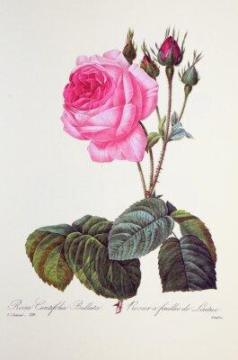 Affisch Rosa centifolia bullata / Rose à feuilles de laitue